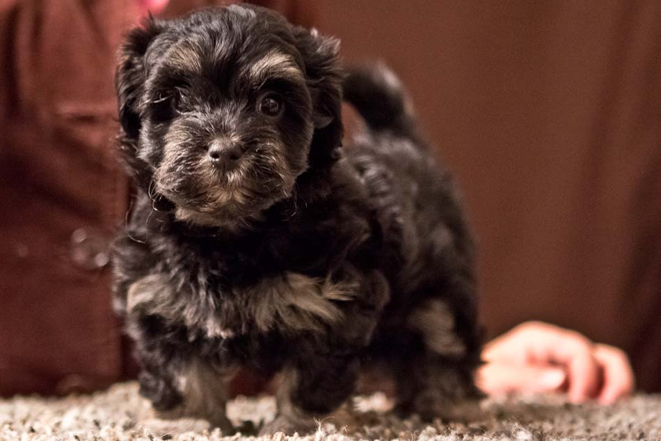 havanese puppies for sale - photo #31