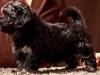 Havanese-Puppy-Duchess-6wks1