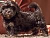 Havanese-Puppy-Duchess-6wks2