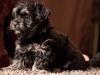 Havanese-Puppy-Duke-6wks1