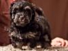 Havanese-Puppy-Duke-6wks2