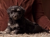 Havanese-Puppy-Noble-6wks2