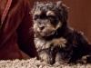 Havanese-Puppy-Prince-6wks1