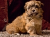 Havanese-Puppy-Princess-6wks2
