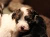 Bullseye-Gold-Sable-Parti-Havanese-Puppy_IMG_1683