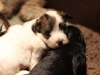 Bullseye-Gold-Sable-Parti-Havanese-Puppy_IMG_1686