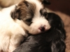 Bullseye-Gold-Sable-Parti-Havanese-Puppy_IMG_1687