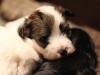 Bullseye-Gold-Sable-Parti-Havanese-Puppy_IMG_1688