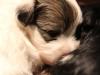 Bullseye-Gold-Sable-Parti-Havanese-Puppy_IMG_1709