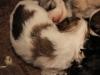 Bullseye-Gold-Sable-Parti-Havanese-Puppy_IMG_1721