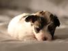 Bullseye-Gold-Sable-Parti-Havanese-Puppy_IMG_1763