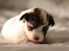Bullseye-Gold-Sable-Parti-Havanese-Puppy_IMG_1767