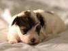 Bullseye-Gold-Sable-Parti-Havanese-Puppy_IMG_1772