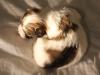 Bullseye-Gold-Sable-Parti-Havanese-Puppy_IMG_1776