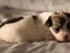 Bullseye-Gold-Sable-Parti-Havanese-Puppy_IMG_1789