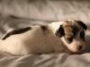 Bullseye-Gold-Sable-Parti-Havanese-Puppy_IMG_1792