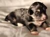 Buzz-Pied-Black-n-Tan-Havanese-Puppy-IMG_1797