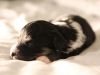 Buzz-Pied-Black-n-Tan-Havanese-Puppy-IMG_1801