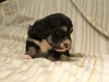 Buzz_Black_and_Tan_Pied_Havanese_Puppy_IMG_2837