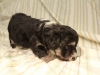 Buzz_Black_and_Tan_Pied_Havanese_Puppy_IMG_2839