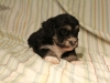 Buzz_Black_and_Tan_Pied_Havanese_Puppy_IMG_2875
