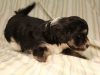Buzz_Black_and_Tan_Pied_Havanese_Puppy_IMG_2890
