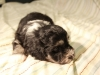 Buzz_Black_and_Tan_Pied_Havanese_Puppy_IMG_2941