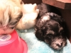 Buzz_Black_and_tan_silver_markings__Havanese_PuppiesIMG_2704