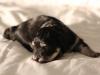 Jesse-Black-n-Tan-Havanese-Puppy-IMG_1749
