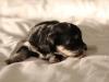Jesse-Black-n-Tan-Havanese-Puppy-IMG_1753
