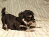 Jesse_Black_and_Tan_Havanese_Puppies_IMG_2798