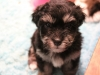 Jesse_Black_and_tan_Havanese_Puppies_IMG_2698