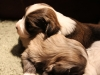 Jewel-n-woody-Havanese-Puppies-IMG_1695