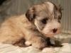 Jewel_Champagne_Sable_Havanese_Puppy_IMG_3029