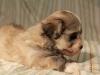 Jewel_Champagne_Sable_Havanese_Puppy_IMG_3031