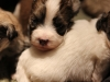 Woody-Gold-Brindle-Irish-Pied_w_Tan-Points-Havanese-Puppy-IMG_1684
