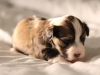 Woody-Gold-Brindle-Irish-Pied_w_Tan-Points-Havanese-Puppy-IMG_1814