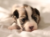 Woody-Gold-Brindle-Irish-Pied_w_Tan-Points-Havanese-Puppy-IMG_1823