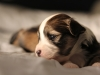 Woody-Gold-Brindle-Irish-Pied_w_Tan-Points-Havanese-Puppy-IMG_1825