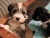 Woody_Brindle_Irish_Pied_Havanese_PuppiesIMG_2535