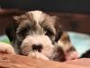 Woody_Brindle_Irish_Pied_Havanese_PuppiesIMG_2600