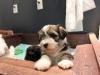 Woody_Brindle_Irish_Pied_Havanese_PuppiesIMG_2650