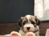 Woody_Brindle_Irish_Pied_Havanese_PuppiesIMG_2678