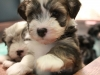 Woody_Brindle_Irish_Pied_Havanese_Puppies_IMG_2524