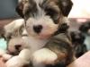 Woody_Brindle_Irish_Pied_Havanese_Puppies_IMG_2524