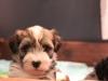 Woody_Brindle_Irish_Pied_Havanese_Puppies_IMG_2581