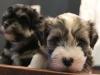 Woody_Brindle_Irish_Pied_Havanese_Puppies_IMG_2671