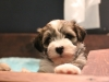 Woody_Brindle_Irish_Pied_Havanese_Puppies_IMG_2687