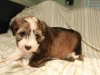 Woody_Brindle_Irish_Pied_Havanese_Puppy_IMG_2952