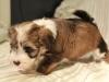 Woody_Brindle_Irish_Pied_Havanese_Puppy_IMG_2972